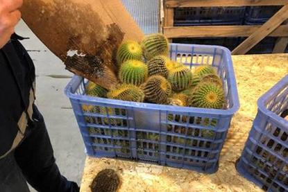cactusbollen
